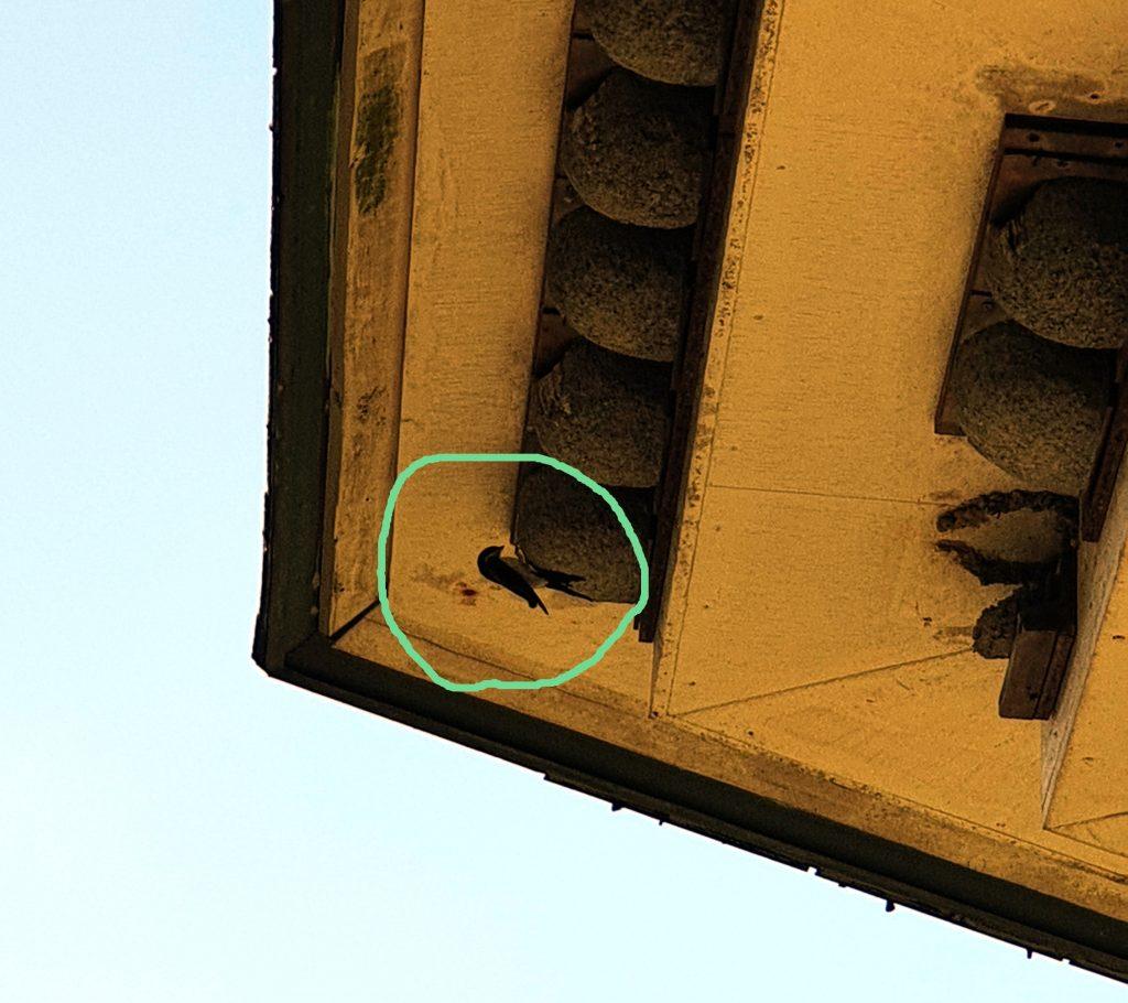 Schwalbe am Nest