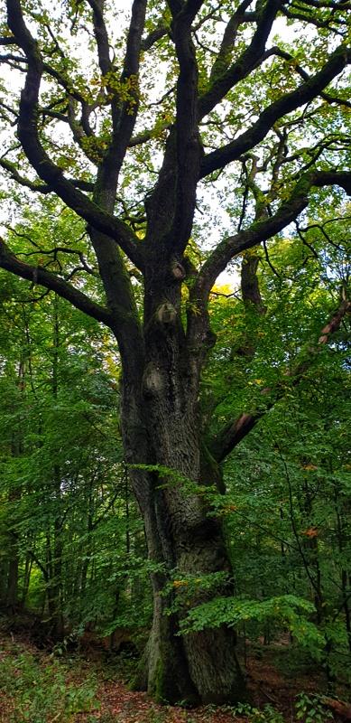 Wanderung im Taunus - alter Baum