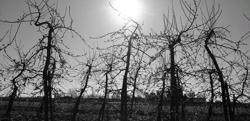 Obstbäume im Gegenlicht s/w